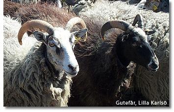 gute_lamb.jpg