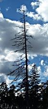 Kala träd står fortfarande på det eldhärjade Torsburgen